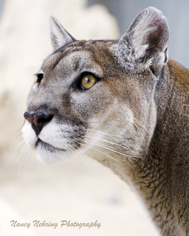 mountain lion  Puma concolor