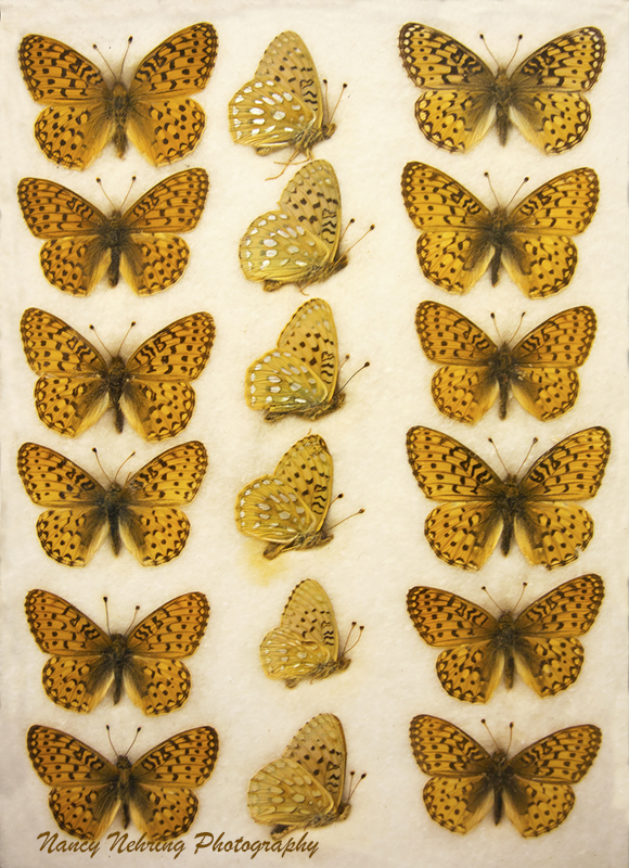 Antique mounted tray of callippe fritillary, Speyeria callippe.