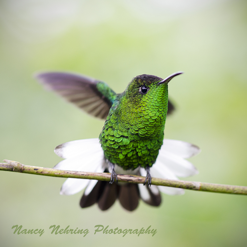 Front view of male coppery-headed emerald hummingbird, Elvira cupreiceps. Bajos del Toro, Alajuela, Costa Rica.