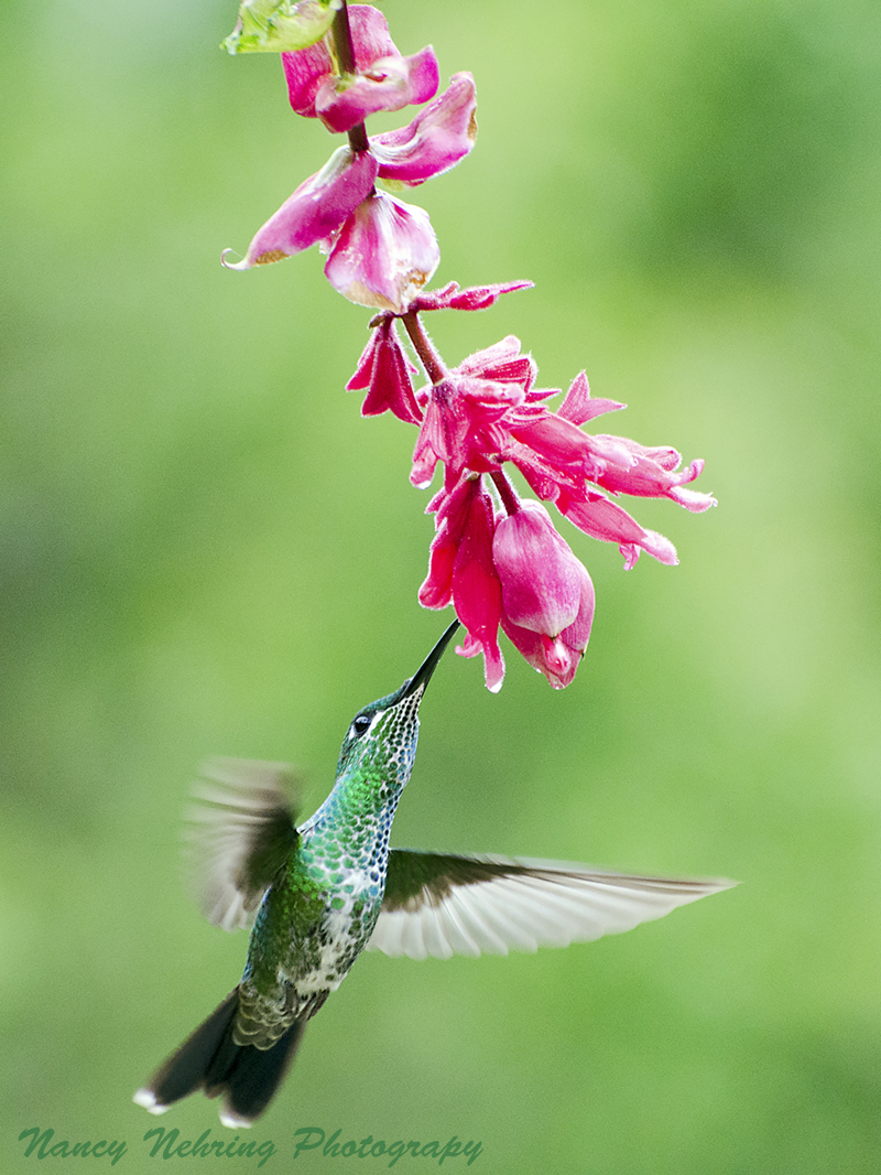 Female green-crowned brilliant hummingbird, Heliodoxa jacula, feeding. Bajos del Toro, Alajuela, Costa Rica.
