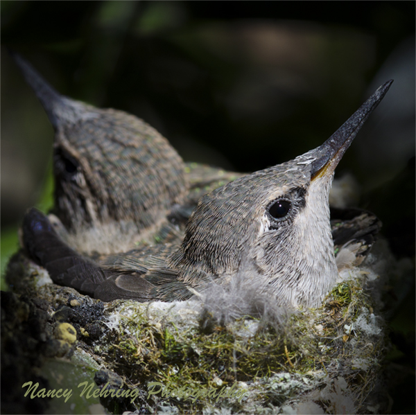Close up of two baby Anna's hummingbirds, Calypte anna, in nest.